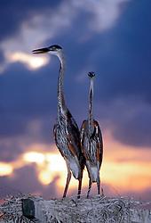 Two Great Blue Heron fledglings (Ardea Herodias) against a cloudy sky