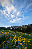 Lupine and yellow balsamroot wildflowers cover the hills of Albion Basin as the sun lights up the mountainside just after sunrise.