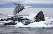 USA, Alaska, Chatham Strait, Humpback whales (Megaptera novaeangliae) bubble-feeding with juvenile breaching