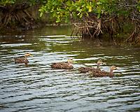 Four Mottled Ducks. Black Point Wildlife Drive, Merritt Island National Wildlife Refuge. Image taken with a Nikon Df camera and 300 mm f/4 lens (ISO 640, 300 mm, f/4, 1/1250 sec).