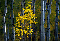 A spotlit aspen tree in an aspen stand in Colorado.