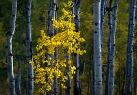 A spotlit aspen tree in an aspen stand in Colorado.