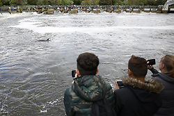 © Licensed to London News Pictures. 10/05/2021. London, UK. A young minke whale is seen in the River Thames in south west London. Fire crews and the British Divers Marine Life group worked with an Rescue Royal National Lifeboat Institute (RNLI) crew in an effort to save the whale after it got stuck last night. But it is now free . Photo credit: Peter Macdiarmid/LNP