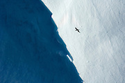 A silhouetted Southern Giant Petrel flies past a tabular iceberg, Scotia Sea, South Atlantic Ocean
