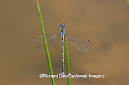 06033-001.05 Sweet Flag Spreadwing (Lestes forcipatus) male in wetland, Marion Co. IL