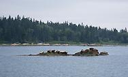 7/3/2013<br /> Seals resting in The Basin, Vinalhaven, Maine.