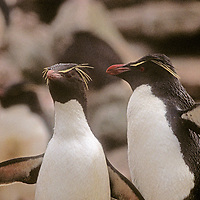 Southern Rockhopper Penguins stand near a rookery on West Point Island, in the Falkland Islands.