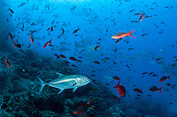 Schooling Jacks and Creolefish on a reef slope<br /> <br /> <br /> Shot at Cocos Island, Costa Rica