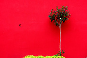 Oleander Shrub in front of a vivid red wall