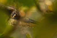 """""""Eye of the Heron"""" .Close-up of a hunting Great Blue Heron (Ardea herodias) though green foliage."""