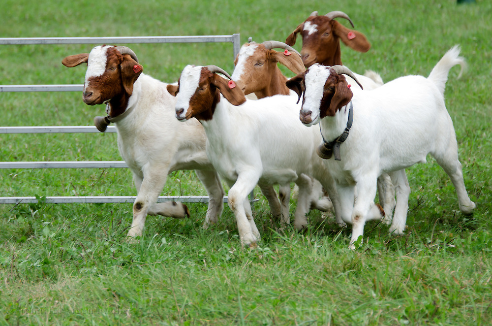 Domestic short-hair goats (Capra aegagrus hircus) trotting into a pen; herding demonstration at the Common Ground Fair, Maine