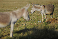 Donkeys. Lake Prespa National Park, Albania June 2009