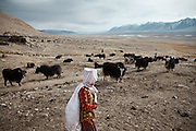 A kyrgyz woman gathering yaks in the evening..Ech Keli, Er Ali Boi's camp, one of the richest Kyrgyz in the Little Pamir..Trekking with yak caravan through the Little Pamir where the Afghan Kyrgyz community live all year, on the borders of China, Tajikistan and Pakistan.