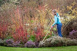 Hoeing in a winter border with mixed cornus and heathers