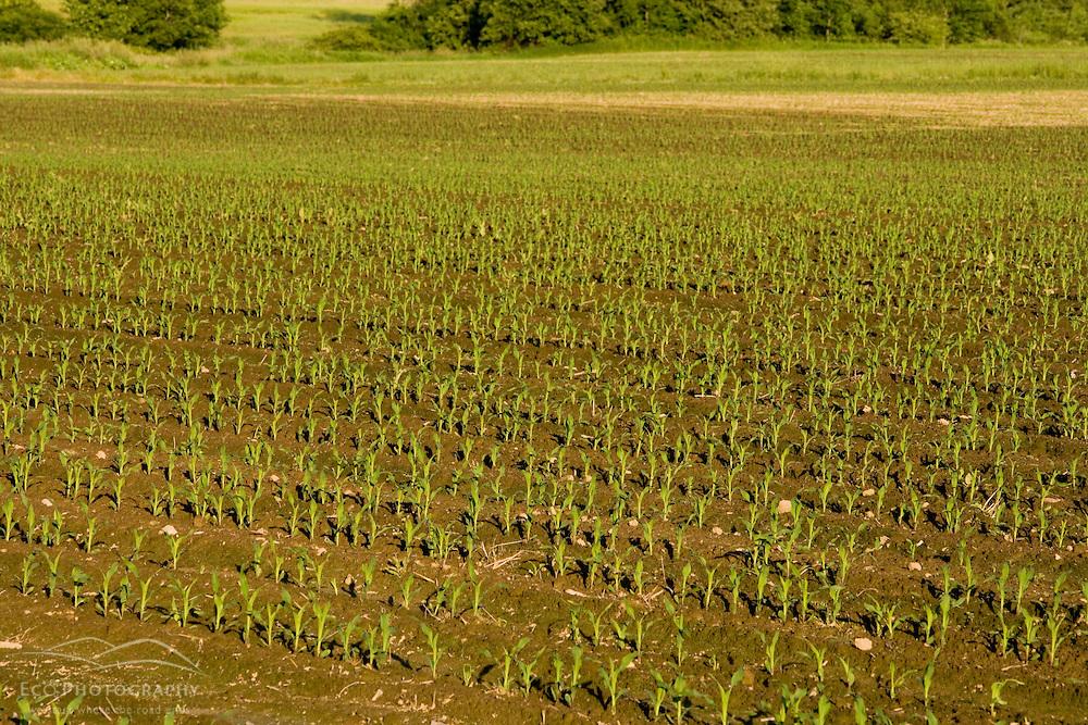 A corn field in Easthampton, Massachusetts.  Echodale Farm.