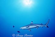 blacktip reef shark or blackfin reef shark, Carcharhinus melanopterus, Moorea, French Polynesia ( South Pacific Ocean )