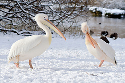 © Licensed to London News Pictures. 21/01/2013. Westminster, UK A pair of the park's famous pelicans, first introduced in 1664 as a gift from the Russian Ambassador. Snow in the Royal Park, St James Park, in Central London today 21 January 2013. Photo credit : Stephen Simpson/LNP