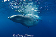 Bryde's whale, Balaenoptera brydei or Balaenoptera edeni, with throat pleats expanded after feeding on baitball of sardines, Sardinops sagax, off Baja California, Mexico ( Eastern Pacific Ocean ) #7 in sequence of 9
