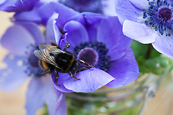 Anemone coronaria Mr Fokker with bee