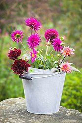 Dahlias in galvanised cutting bucket with divider sections