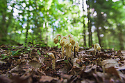 Dutchman's pipe or pinesap (Monotropa hypopitys) - a saprophytic flower growing on shaded forest floor between leaf litter, near Ozolmuiža, Vidzeme, Latvia Ⓒ Davis Ulands   davisulands.com