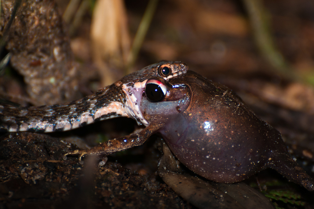 A snake attempting to eat a frog in Gunung Kinabalu National Park, Sabah, Malaysian Borneo.