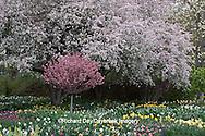 65021-02906 Flowering Crabapple trees (Malus sp), dafodils (Narcissus), tulips (Tulipa), and Virginia Bluebells (Mertensia virginica) in spring, MO