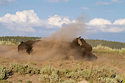 Bull bison in dust wallow during the rut