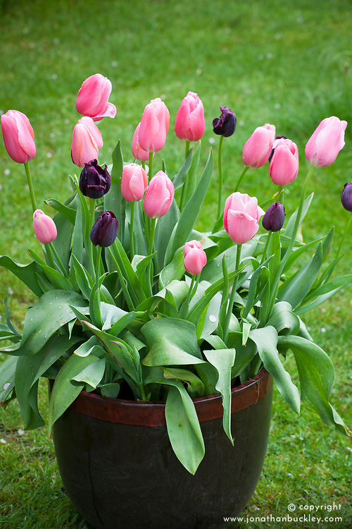 BC12 Plum Sorbet Collection in a pot. Tulipa 'Queen of Night' and 'Fenton'
