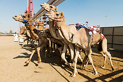 Starting gate at camel races at Dubai Camel Racing Club at Al Marmoum in Dubai United Arab Emirates