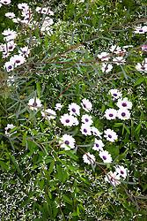 Osteospermum 'F1 Akila White Purple Eye' with Euphorbia hypericifolia Diamond Frost = 'Inneuphe' and Salix purpurea 'Nancy Saunders' AGM