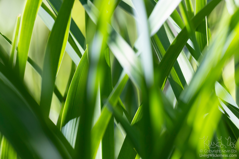 Blades of grass fan out in a tight cluster in this close-up view of a lawn in Snohomish County, Washington.