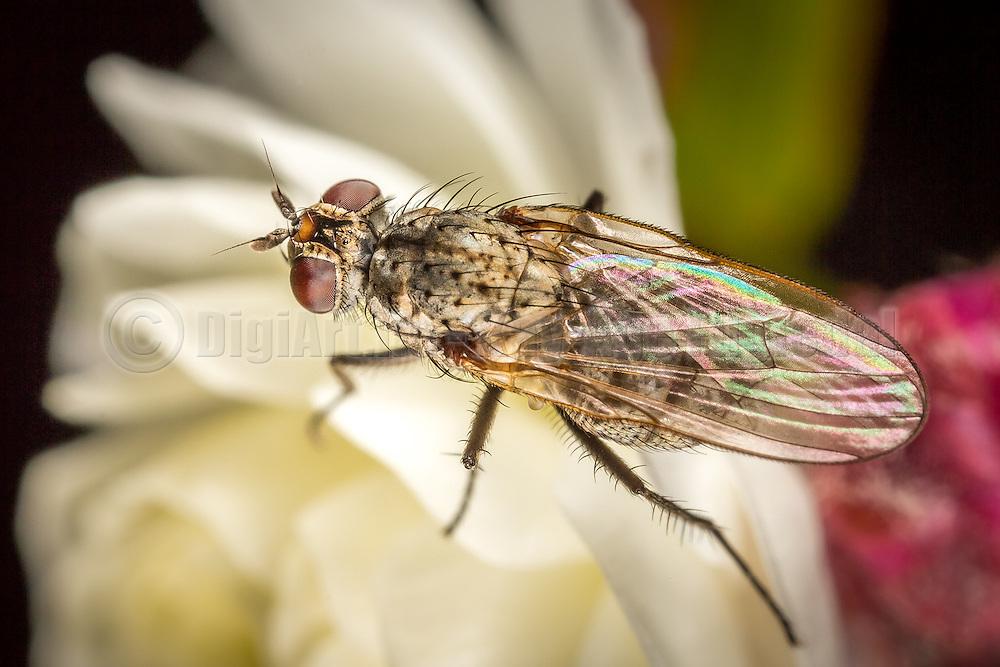 Macro picture of a fly on a flower | Makrobilde av en flue på en blomster.