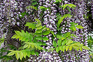 Purple Japanese Wisteria (Wisteria floribunda) flowers and spring leaves