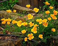 California Poppy. Image taken with a Fuji X-T2 camera and 100-400 mm OIS lens.