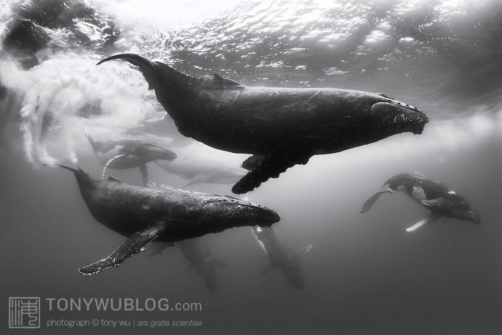 Nine humpback whales (Megaptera novaeangliae) of ten that were engaged in a competitive group heat run centered around the dark female in the foreground of this photograph.