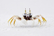 """Beach sand crabs, Lowland rainforest, Karawawi River, Kumawa Peninsula, mainland New Guinea, Western Papua, Indonesian controlled New Guinea, on the Science et Images """"Expedition Papua, in the footsteps of Wallace"""", by Iris Foundation"""