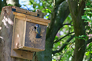 Blue-tits feeding young in nest-box
