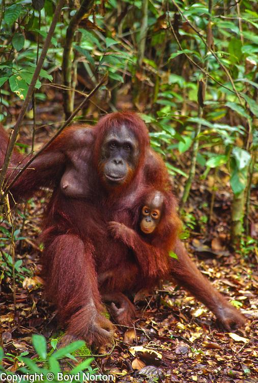 "Orangutan. Borneo rain forest.Sepilok Orangutan Sanctuary, Borneo, Malaysia. Highly endangered due to destruction of rainforest habitat.  Name derived from ""orang"" and ""hutan"", literaly ""man of the forest"""