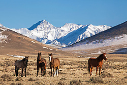 Idaho Mustang roaming the mountains valleys below Idaho's tallest peak Mount Borah in Central Idaho near the town of Challis.