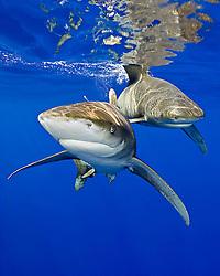 Oceanic Whitetip Sharks, Carcharhinus longimanus, off Kona Coast, Big Island, Hawaii, Pacific Ocean