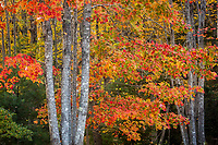 Intimate forest scene with autum color (red maple) in Acadia National Park, Maine