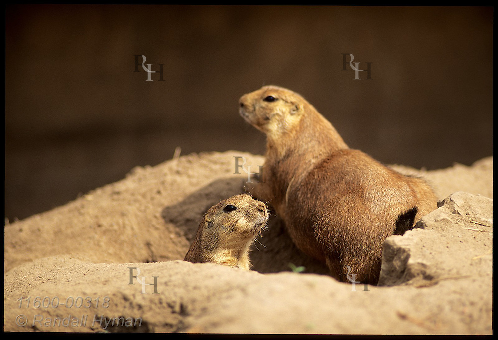 Prairie dog sits at burrow opening as another peers out the Carey Park Zoo in the town of Hutchinson, Kansas
