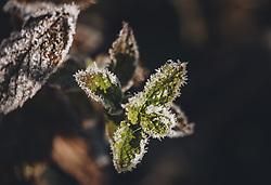 THEMENBILD - Frost und Schneekristalle haben sich durch die Kälte auf einer Pfefferminze gebildet, aufgenommen am 25. November 2020 in Kaprun, Oesterreich // Frost and snow crystals have formed on a peppermint, in Kaprun, Austria on 2020/11/25. EXPA Pictures © 2020, PhotoCredit: EXPA/Stefanie Oberhauser