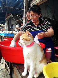 June 18, 2017 - Suzhou, Suzhou, China - Suzou, CHINA-June 18 2017: (EDITORIAL USE ONLY. CHINA OUT) ..A cat can be seen in front of a shrimp vendor's stand at a market in Suzhou, east China's Jiangsu Province, promoting the sales of shrimps. The adorable cat attracts attention of many consumers. (Credit Image: © SIPA Asia via ZUMA Wire)