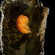 [captive] Beetle pupa of Hazel Leaf-roller Weevil (Apoderus coryli) Westensee, Germany   Nach Wochen des Ei- und Madenstadiums hat sich die heranwachsende Haselblattroller-Larve (Apoderus coryli) im Inneren ihrer Blattrolle verpuppt.