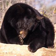 Black Bear, (Ursus americanus) In red rock country of Utah sucking on paw.  Captive Animal.