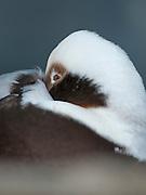 Female Long-tailed Duck (Clangula hyemalis)