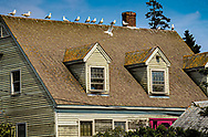 """An image of a house with 13 Gulls, along with their """"deposits."""" A sunny day in Maine."""