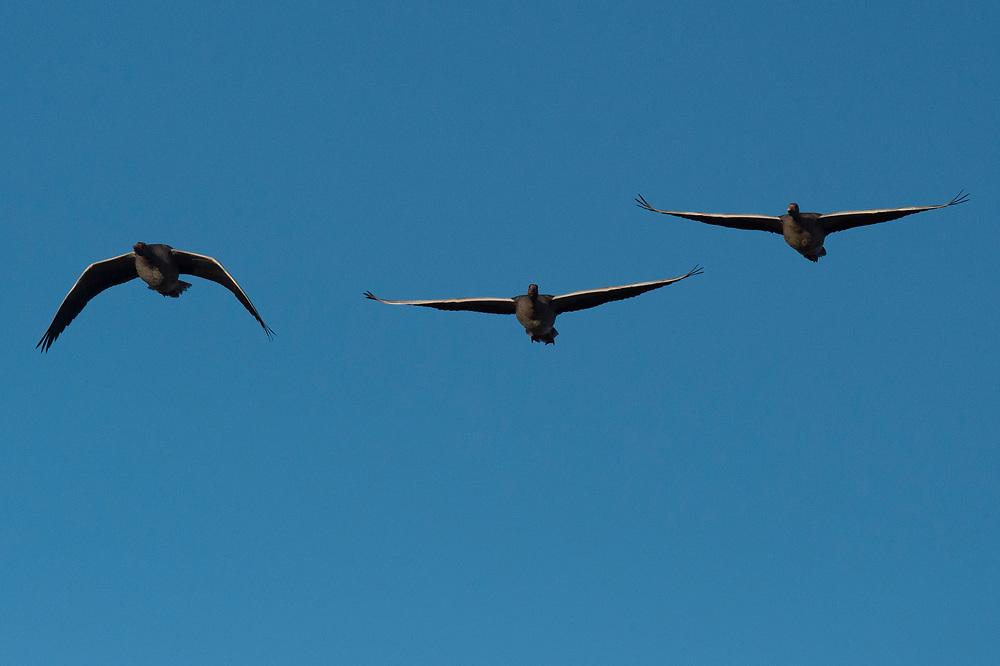 Greylag goose, Anser anser, Hjälstaviken Nature reserve, Uppland, Sweden